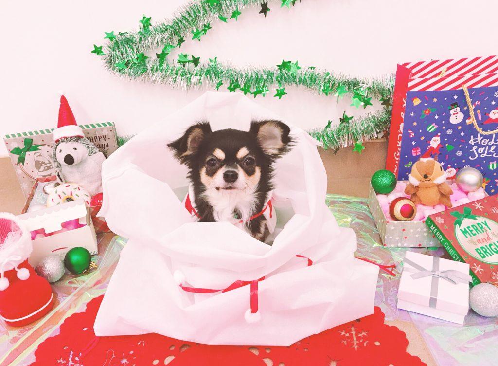 クリスマスプレゼント チワワ